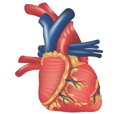 0091 human_heart